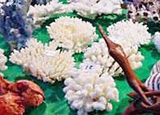Korallen-AH