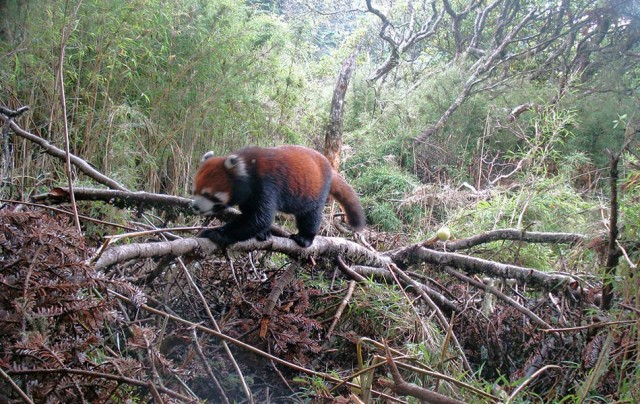 Panda (Ailurus fulgens) captured in Shen Guo Zhuang, Sichuan, China © WWF / Peking University