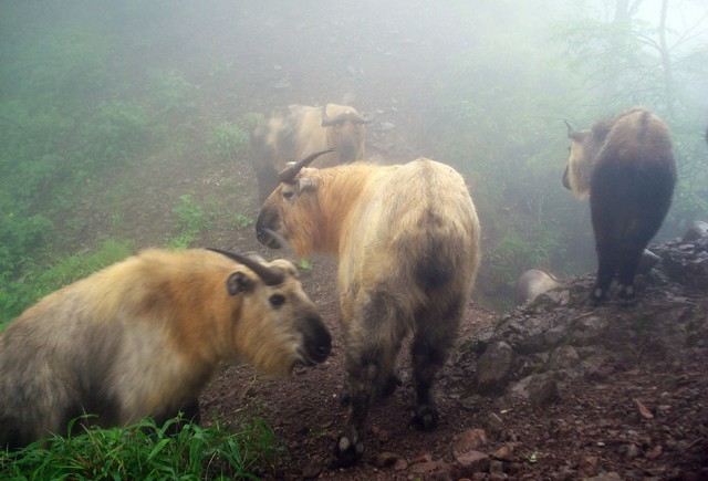 Takin (Budorcas taxicolor) captured in An Zi He, Sichuan, China. © WWF / Peking University