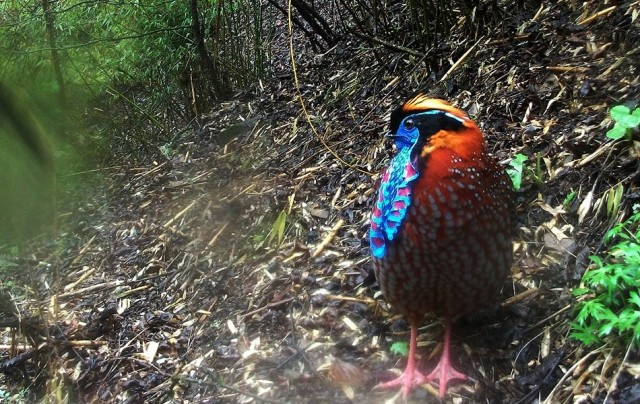 Temminck's tragopan (Tragopan temminckii) captured in Wang Lang, Sichuan. © WWF / Peking University