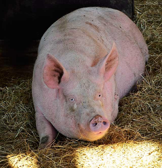 Schwein in Offenstall-Haltung / © GreenConnect