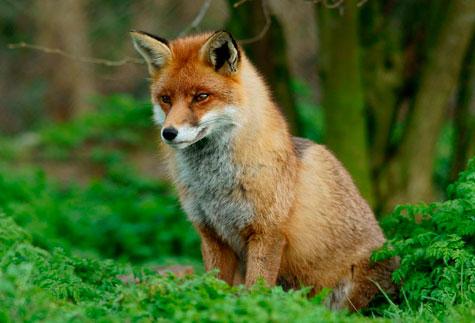 fox_british_wildlife_centre_Newchapel_p_trimming
