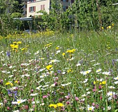 Garten_SVS_Blumenwiese