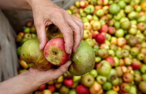 Alte-Apfelsorten_NABU_B.-Schaller