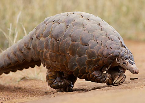 scaly_anteater_ground_pangolin