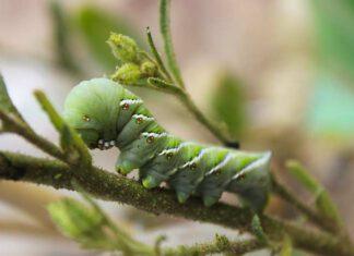 Nikotin können die Raupen des Tabakschwärmers (Manduca sexta) gut tolerieren, doch wenn ihre Wirtspflanze andere chemische Substanzen produziert, suchen sie sich nach Möglichkeit einen neuen Fressplatz. (Bild: Pia Backmann)