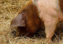 Schwein im Heu Photo: pixabay.com