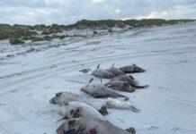 Gestrandete Schweinswale auf Ameland. (C) Rob Knoeff / RTZ